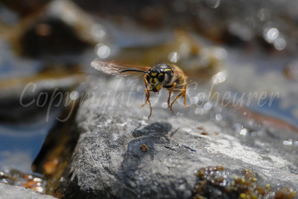 Vespa crabro, Hornisse