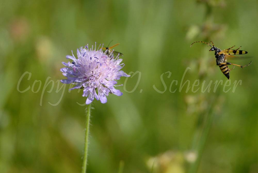 Strangalia maculata, Rutpela maculata, Gefleckter Schmalbock