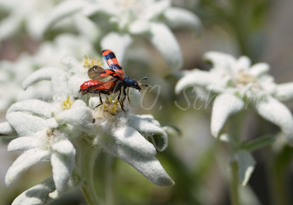 Trichodes apiarius, Gemeiner Bienenkäfer, Bienenwolf
