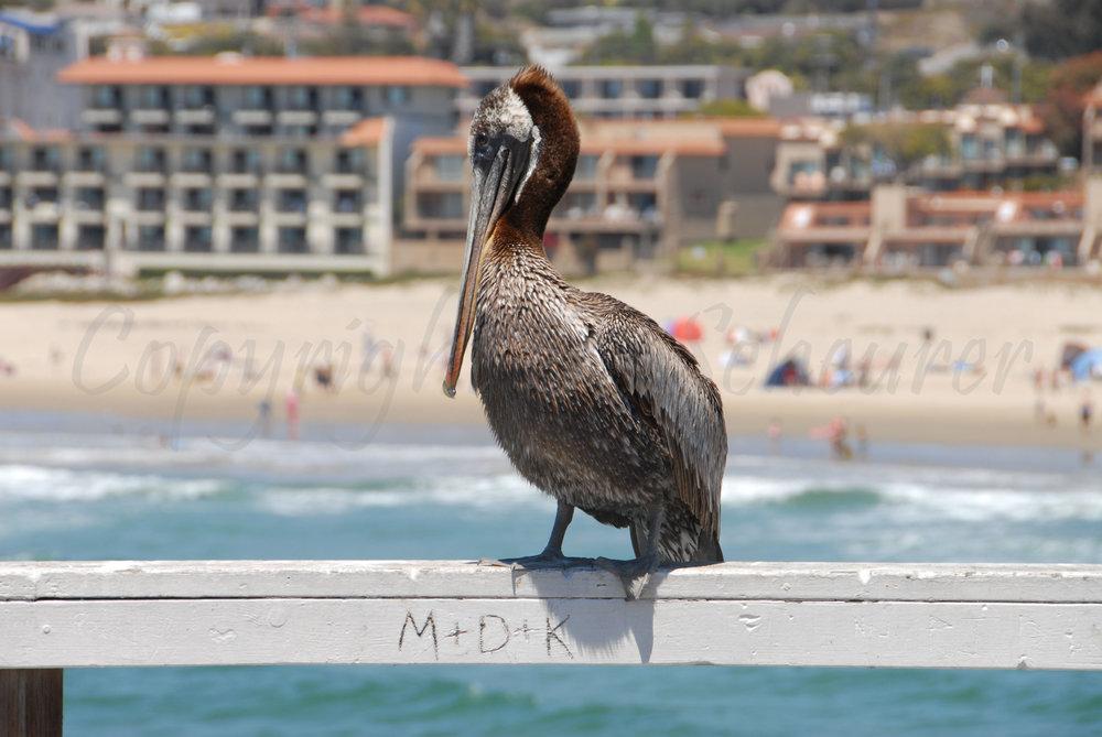 Pelican in Love
