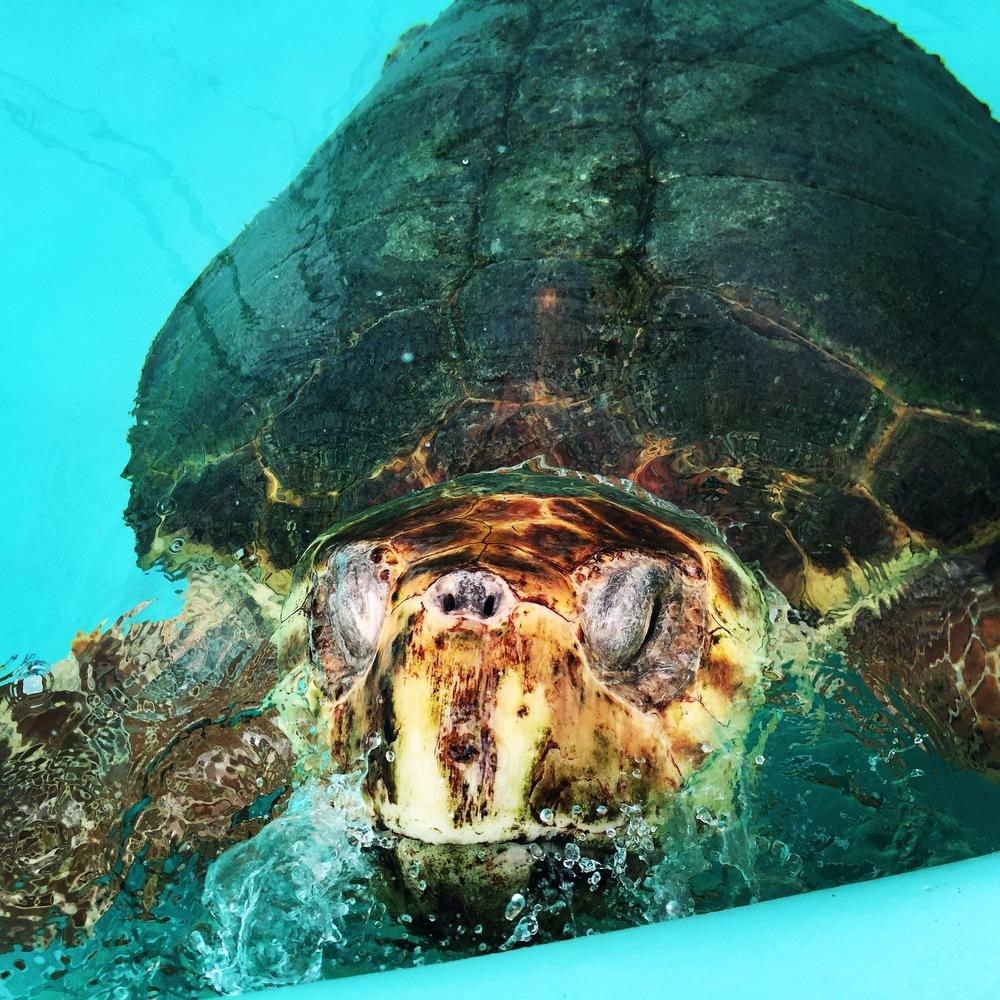 Princess Amanda the Loggerhead sea turtle patient, released back into the  Atlantic Ocean  on June 11, 2015 after successful rehabilitation
