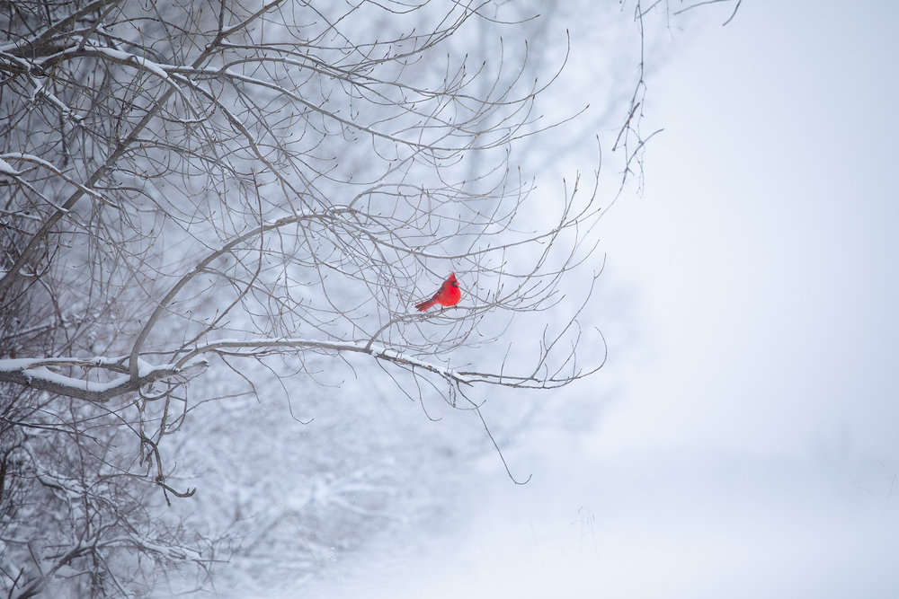 This lone cardinal really stood out in this snow - Handheld - 200mm - ISO 500 - f/5 - 1/1000