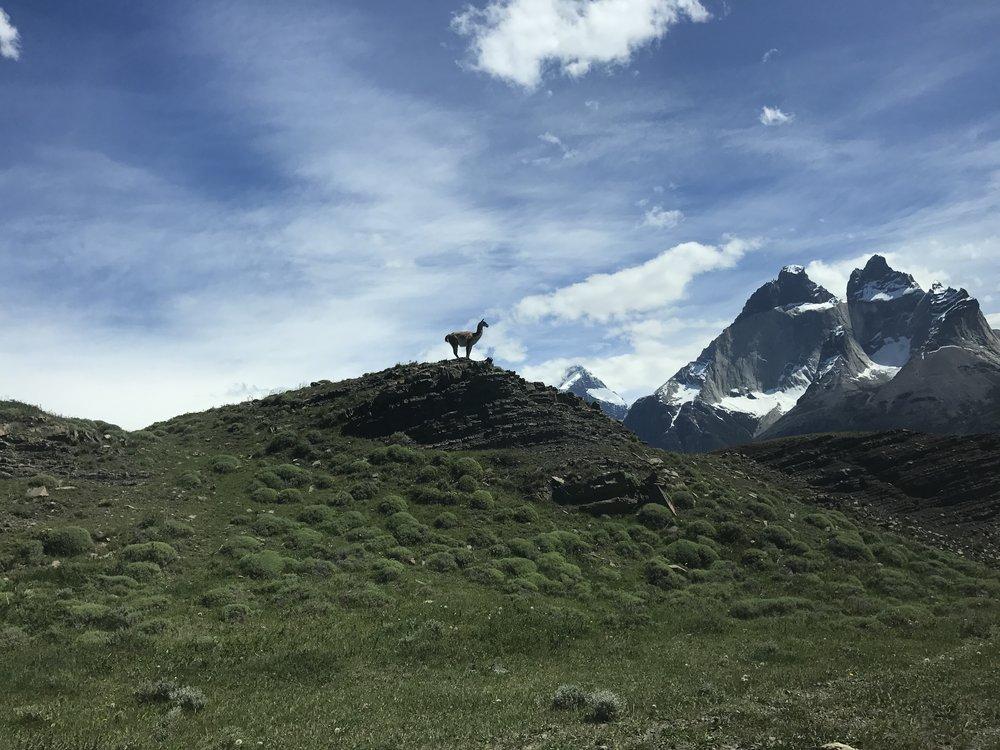 Guanaco Patagonia.JPG