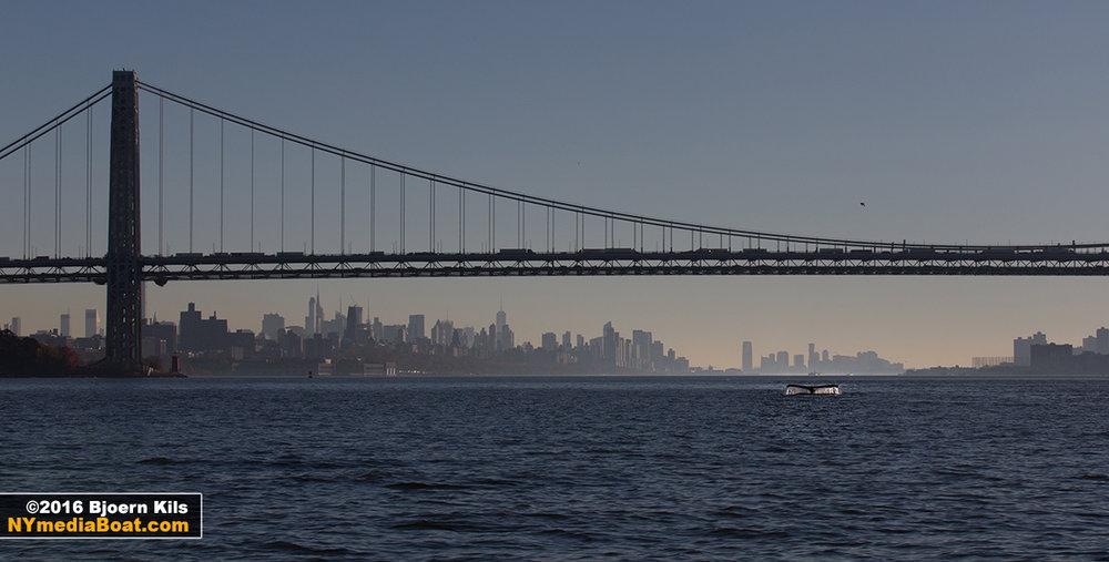 Humpback Whale In New York Harbor Day 2 New York Media Boat