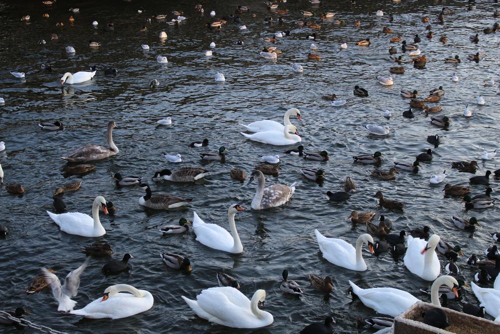Swans in Stockholm, Sweden