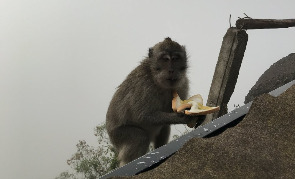 One of the many monkeys that stole our breakfast at the top of Mt. Batur