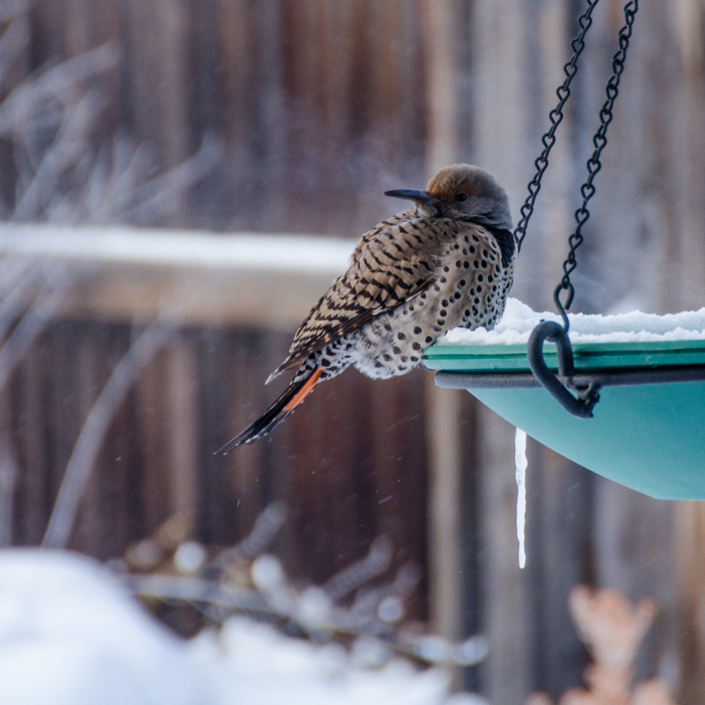 Northern flickers love eiber