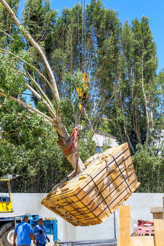 Ficus install - Chalon Rd (10).jpg