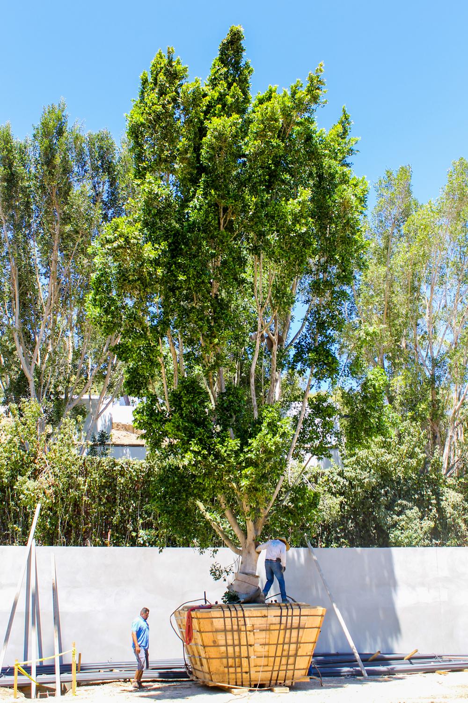 Ficus install - Chalon Rd (16).jpg