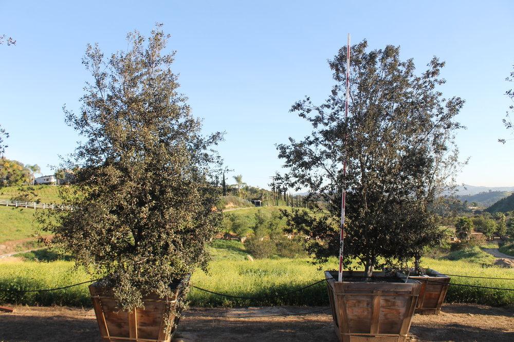 Quercus ilex multi 60 box - 16 ft x 10 ft