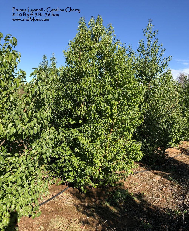 Prunus Lyonnii - Catalina Cherry