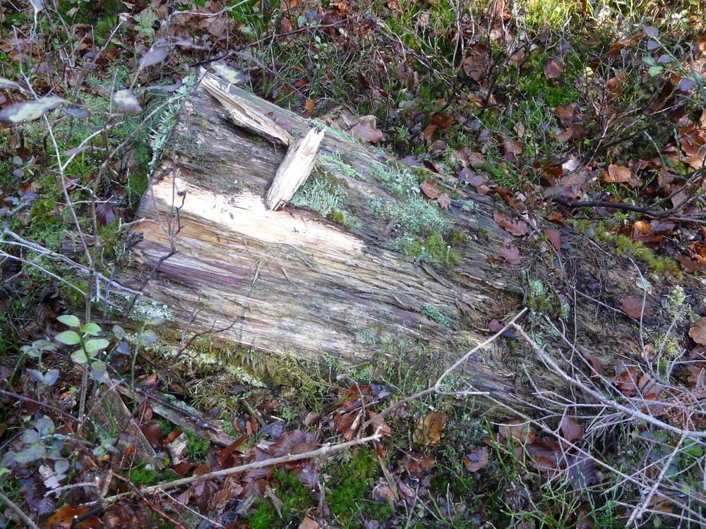 Buchenmoder aus den Wäldern des Walsertals