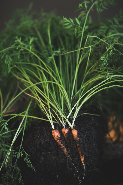 Karotten vom Vetterhof in ihrer natürlichen Umgebung ...
