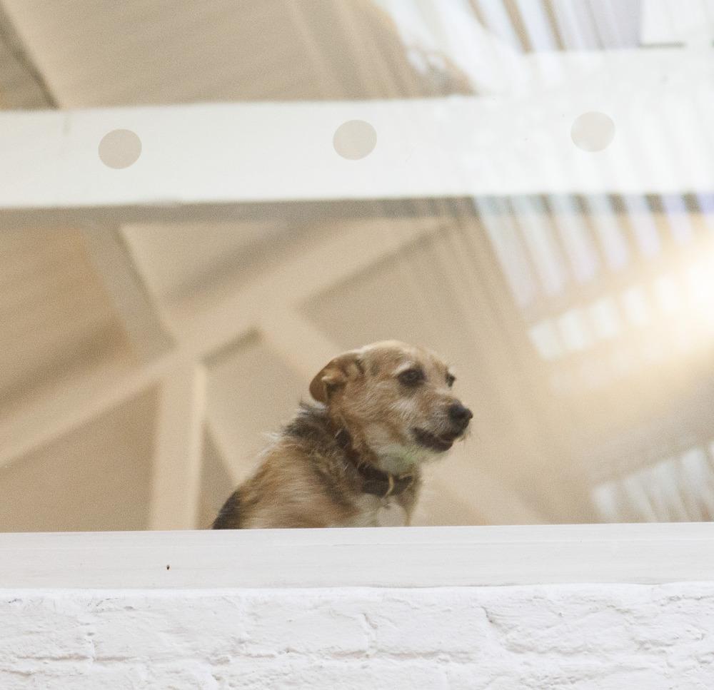 Jack the office wonder dog.