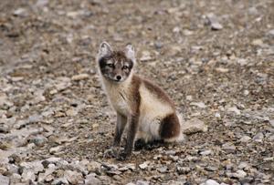 arctic foxy.jpg