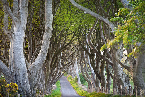 The Dark Hedges of Armoy
