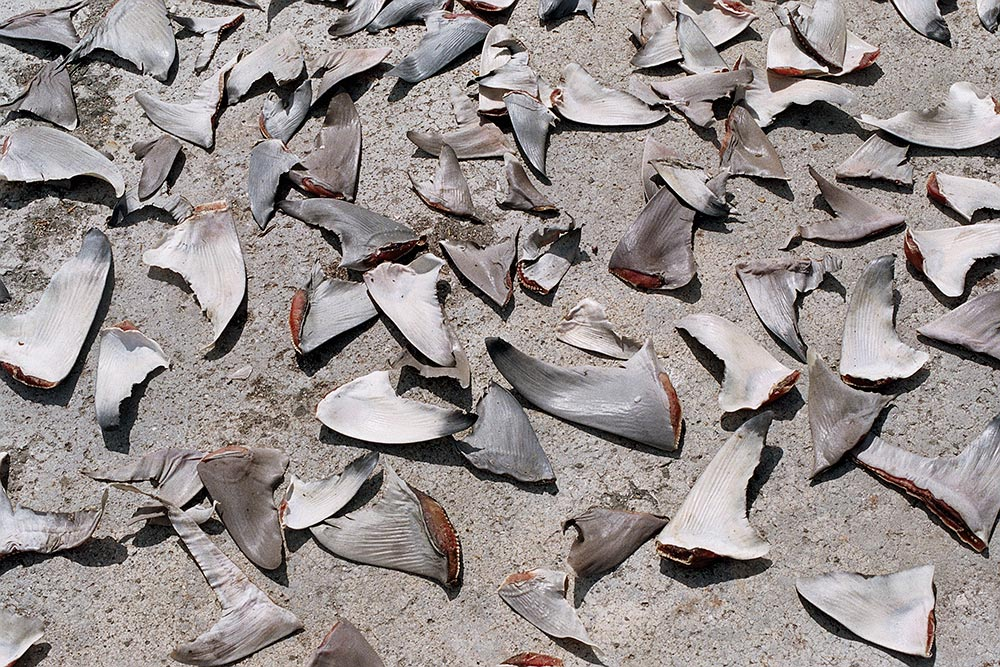 shark fins photo borneo
