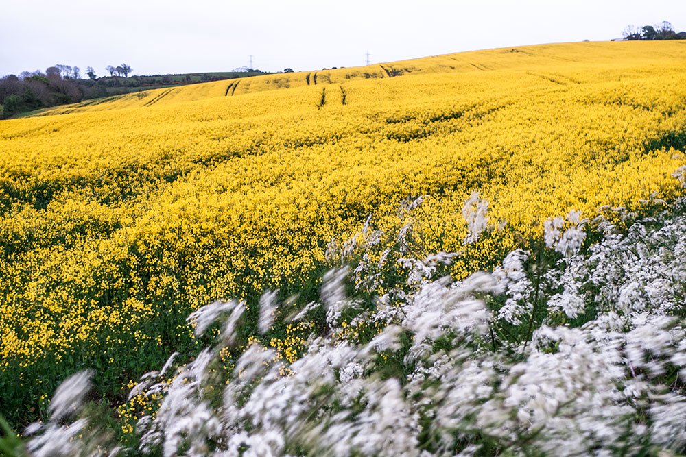 yellow-field.jpg