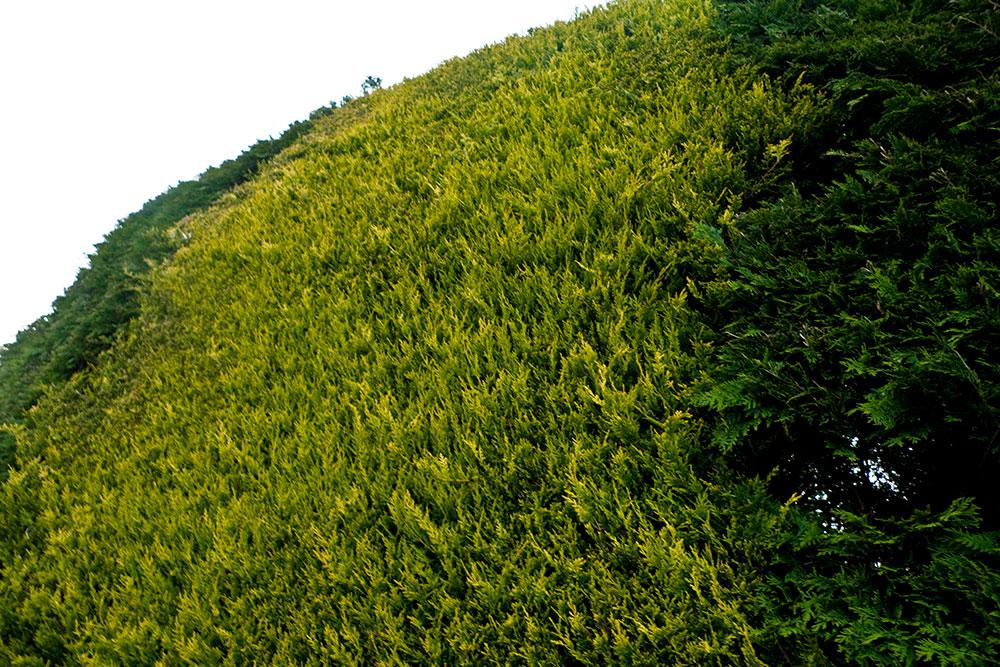hedges014_1.jpg