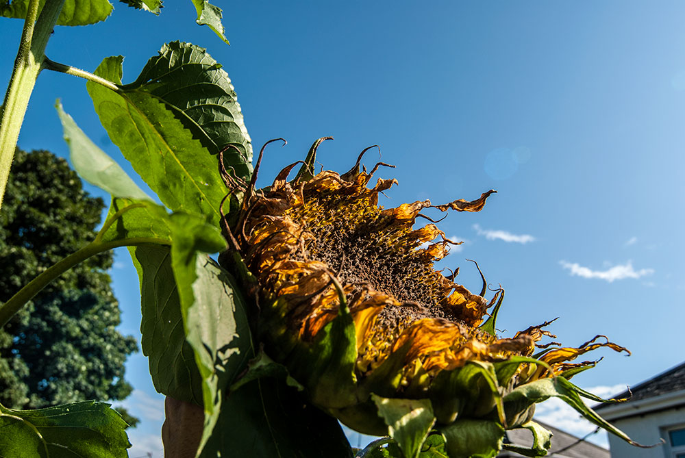 sunflowers-2.jpg