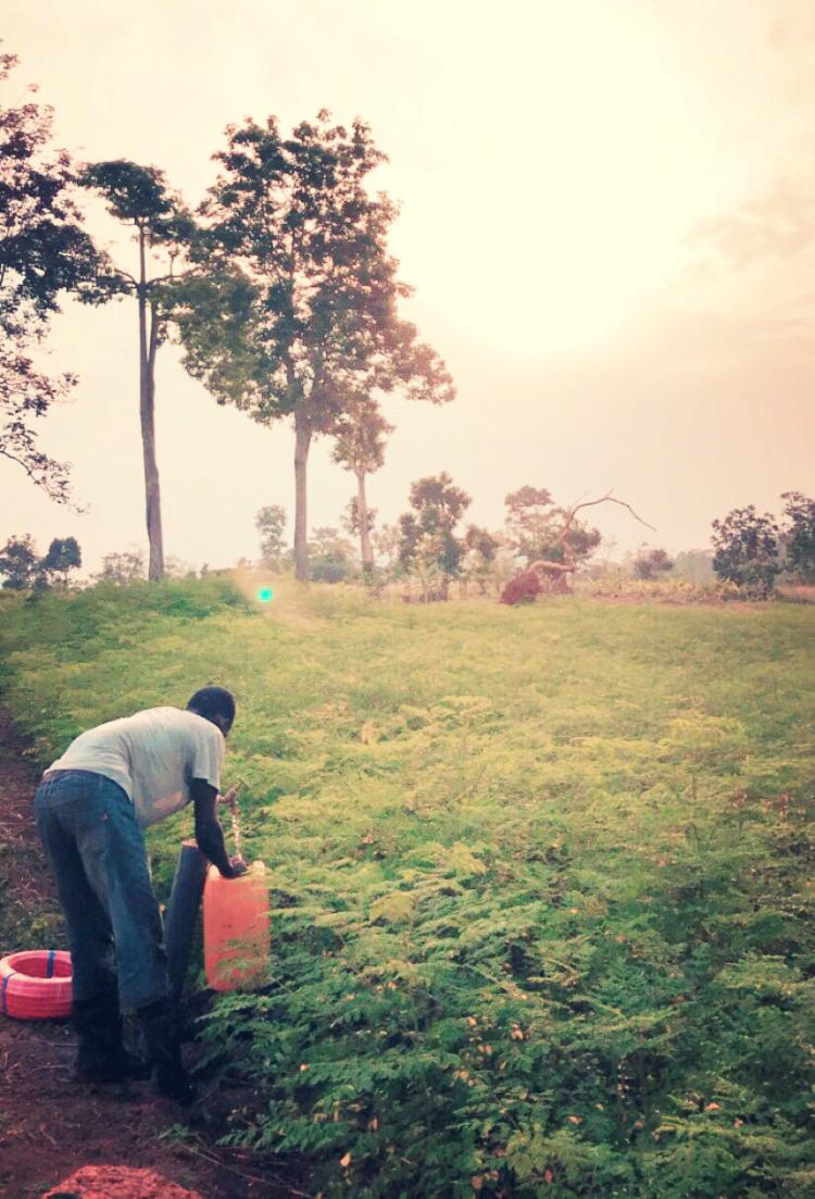 Moringa farm.PNG