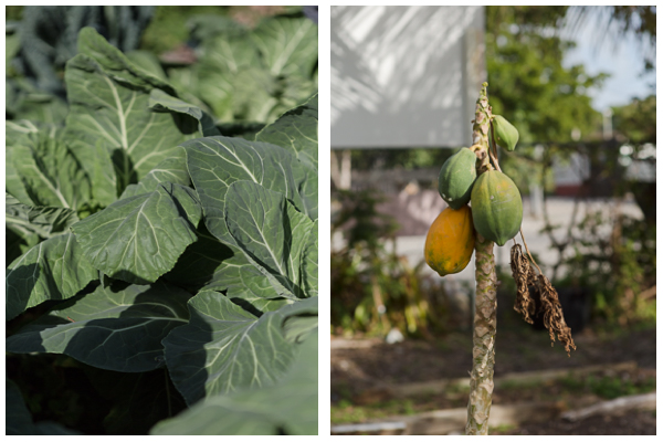 "Collards and a papaya tree continued to grow even after the destruction from Hurricane Irma. ""It's amazing how resilient plants are"".- Gary Feinberg"