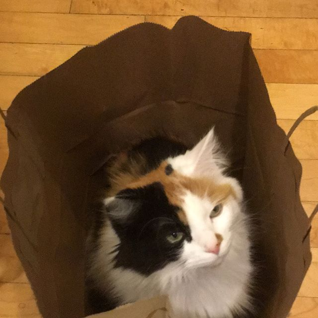 The cat's in the bag. Literally. And she loves it.  #CatsOfInstagram #bestmeow #instacat #cat #catoftheday #pawpack #petsofinstagram #whiskers #mainecoon #mainecooncat #fluffy #topcatphoto #kitten #kitty #weeklyfluff #cutecatcrew #instacat #petstagram #gato #chat #kato #pussycat #meow #meowbox #cuddle #mew #paws