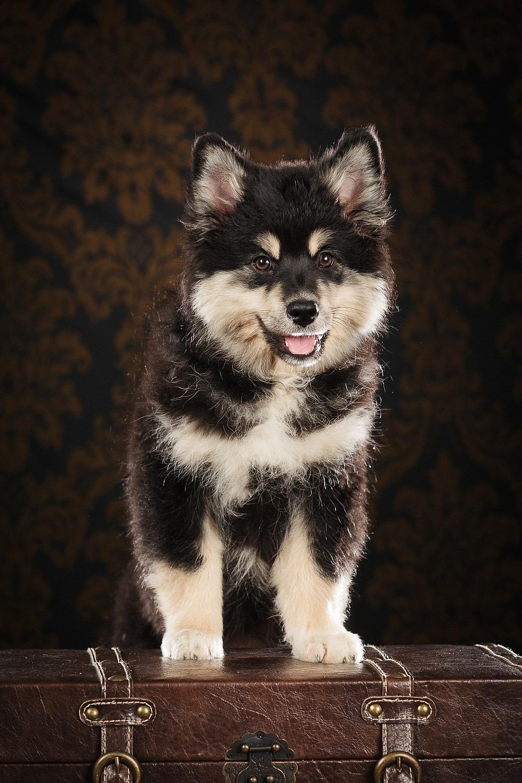 hund-hundefotograf-hundefotografering-fotograf-studiohodne-hodne--7-kopi.jpg