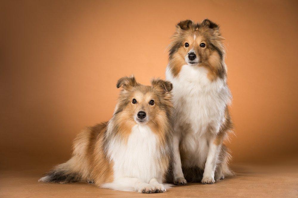 hund-hundefotograf-hundefotografering-fotograf-studiohodne-hodne--9-kopi.jpg