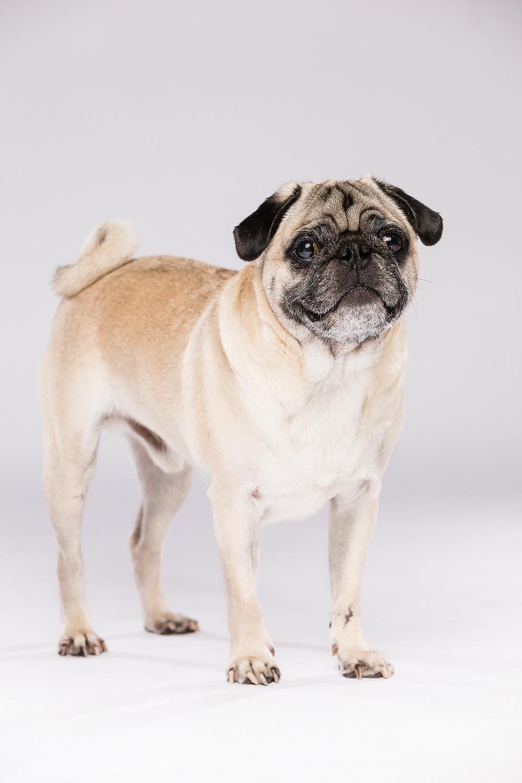 hund-hundefotograf-hundefotografering-fotograf-studiohodne-hodne--11.jpg