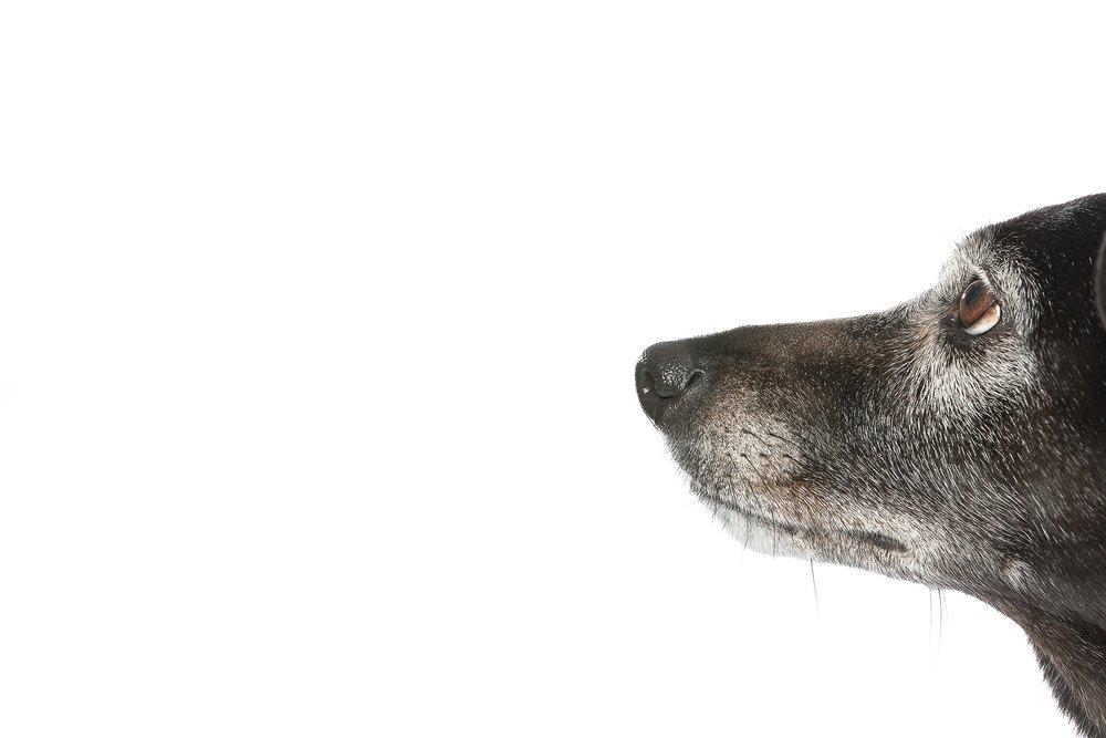 hund-hundefotograf-hundefotografering-fotograf-studiohodne-hodne--22.jpg
