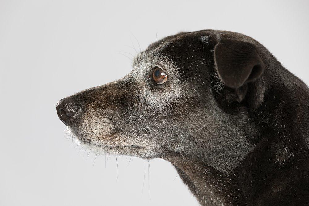hund-hundefotograf-hundefotografering-fotograf-studiohodne-hodne--25.jpg