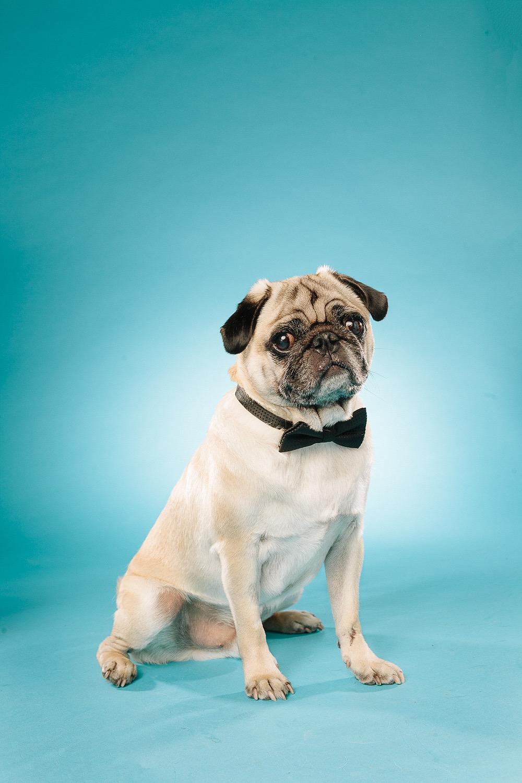 hund-hundefotograf-hundefotografering-fotograf-studiohodne-hodne--10-kopi 2.jpg