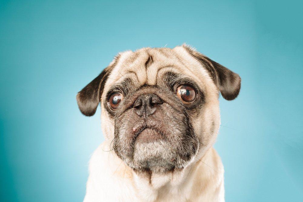 hund-hundefotograf-hundefotografering-fotograf-studiohodne-hodne--7-kopi 2.jpg