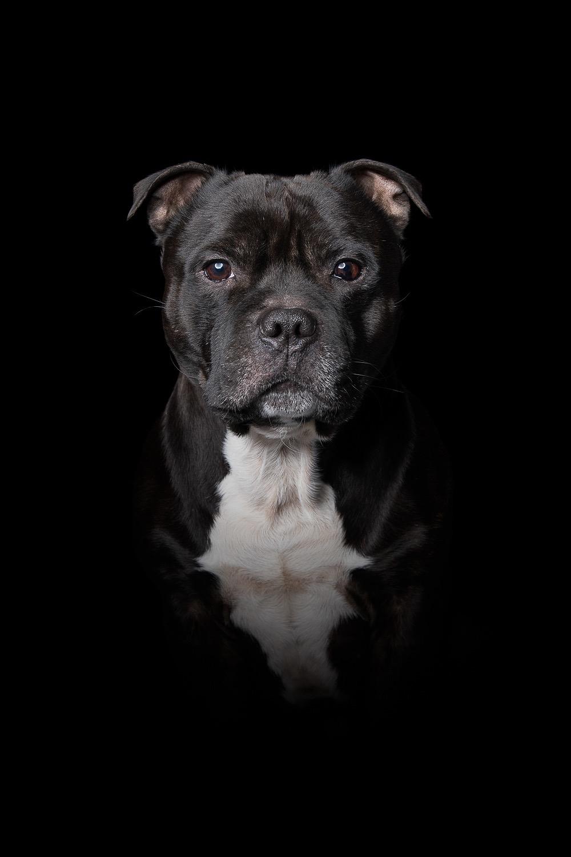 hund-hundefotograf-hundefotografering-fotograf-studiohodne-hodne-.jpg