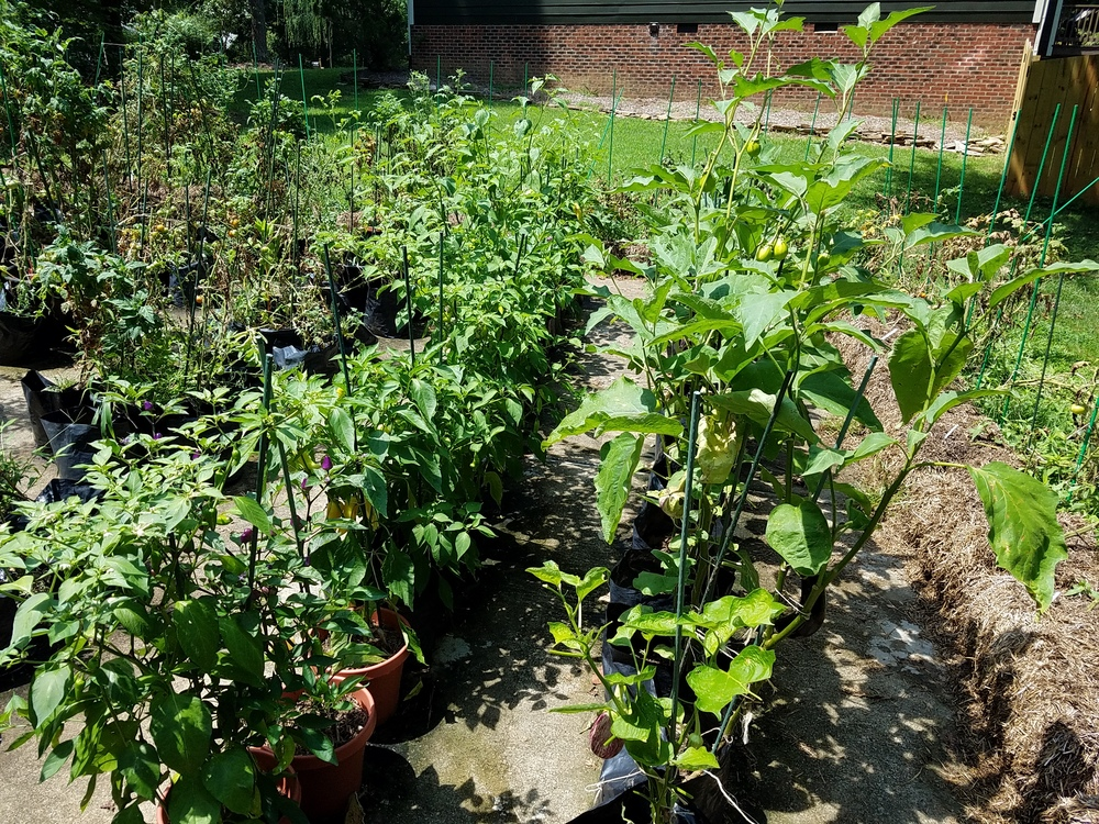 triving peppers and eggplant July 27 2016.jpg