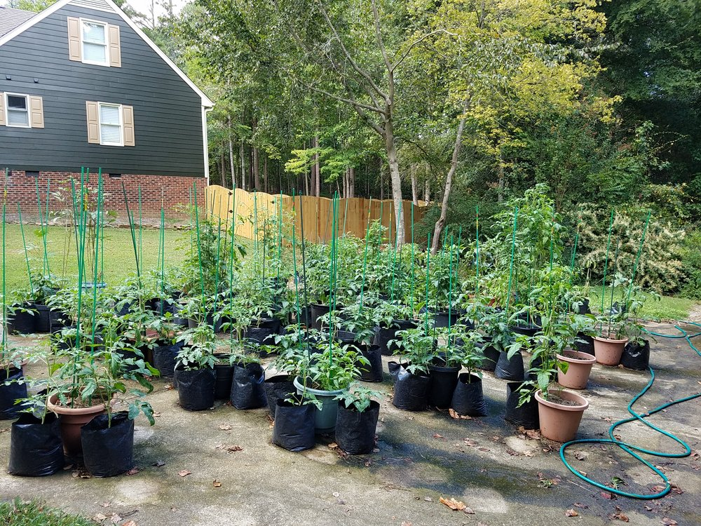 View of my late summer/fall 2016 garden - 76 tomato plants!