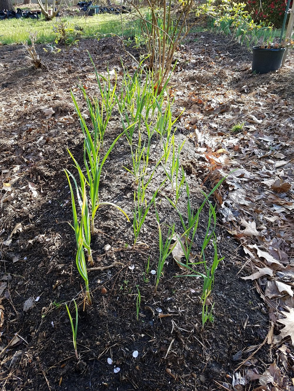 Happily growing garlic