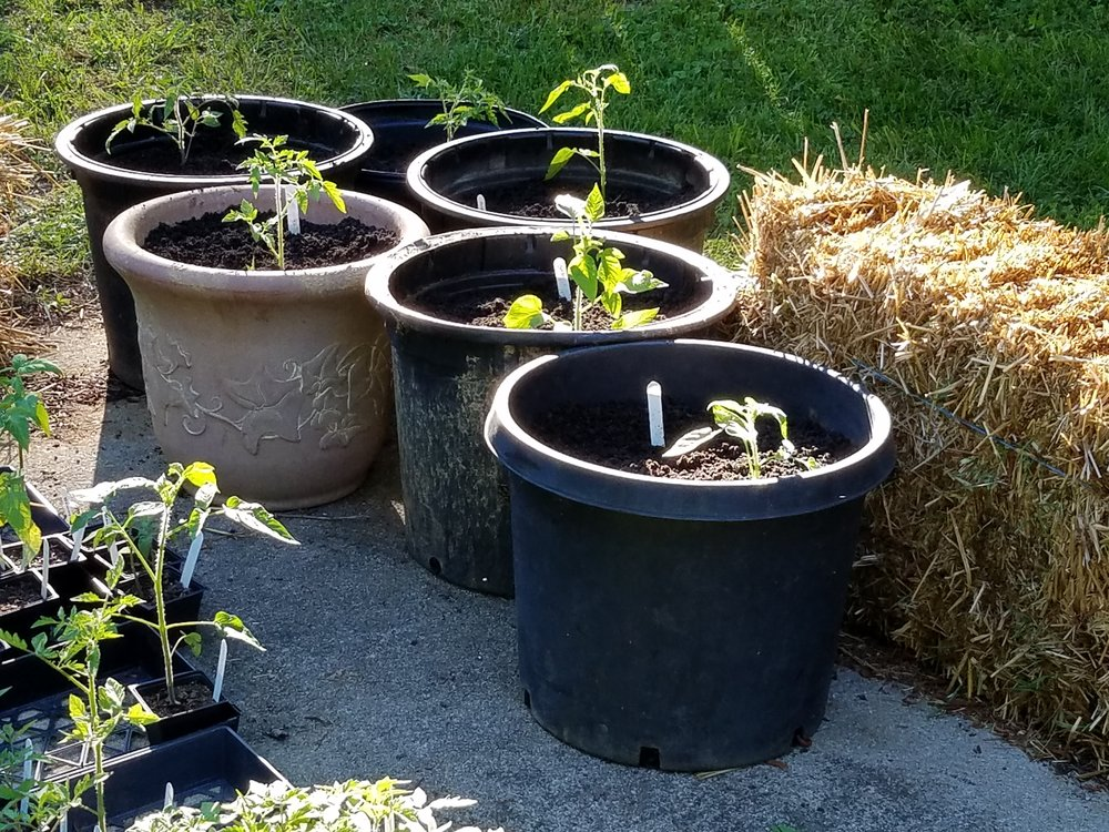 Indeterminate tomatoes in 10 gallon containers