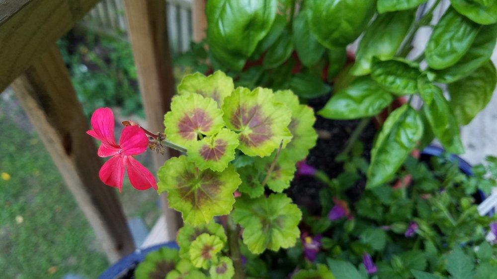 Back deck geranium