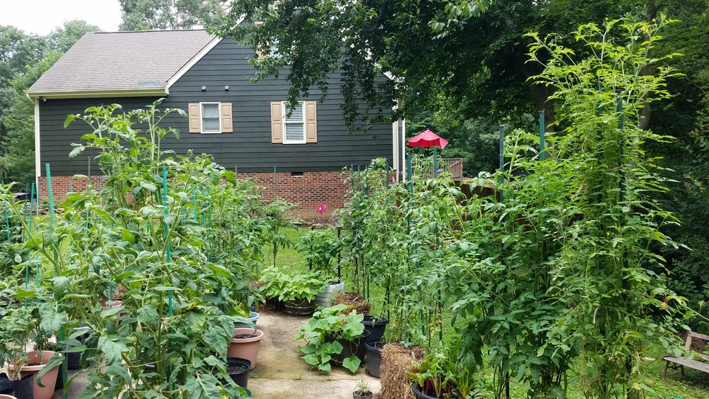 A view of the two main indeterminate plant areas of the driveway garden.
