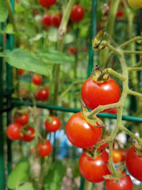 Tomatoes on one of Crystal Lynn's plants, photographed by her son and shared with me