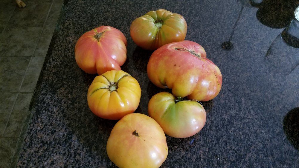 Some one pound and greater Lucky Cross tomatoes