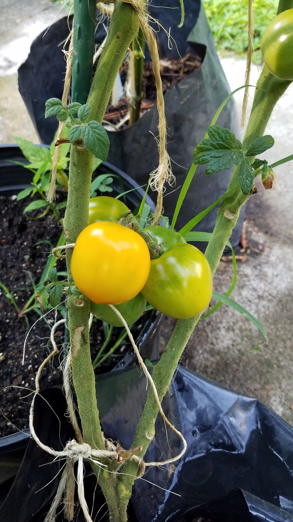 Reddy 5784 - nice large yellow cherry tomato