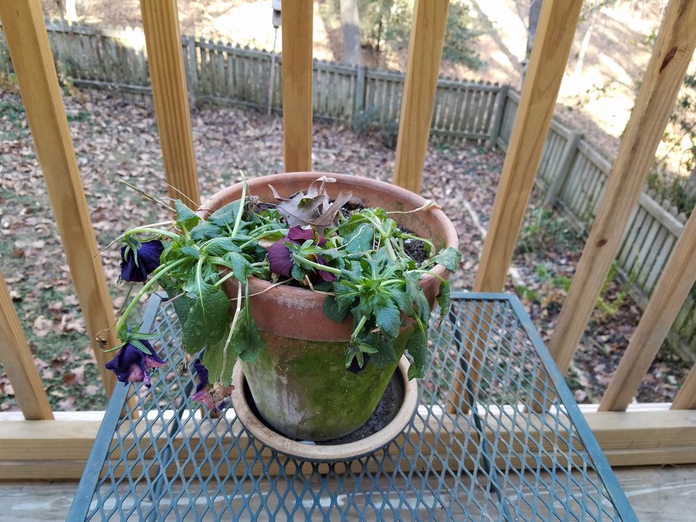 Poor pansy....will it make it through to warmer spring temps? We shall see!