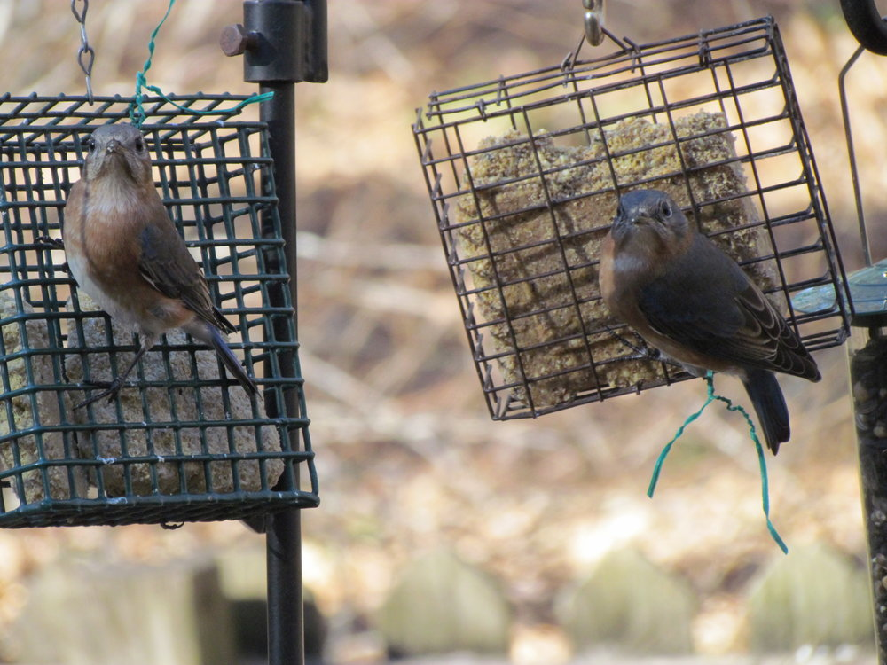 Two young bluebirds keeping an eye on me as I skulk on the deck with my camera