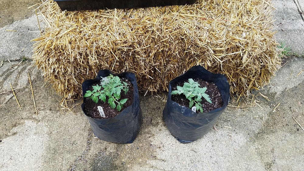 2 of the 18 microdwarf project plants in 1 gallon grow bags