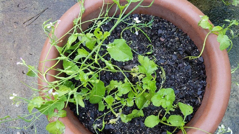 Rattail radish June 11.jpg