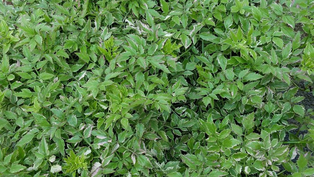 variefgated water celery June 11.jpg