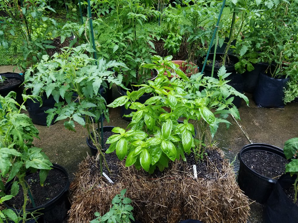 Dwarf Tomato Project plants Dwarf Speckled Heart and Dwarf Banana Toes with basil